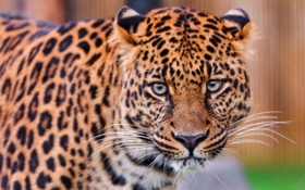 Картинка взгляд, хищник, леопард