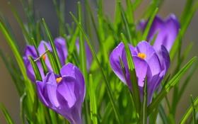 Обои трава, крокусы, природа, фиолетовые, солнечно, цветы