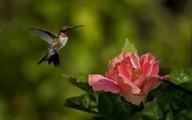 Картинка зелень, цветок, природа, розовый, птица, фокус, колибри