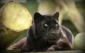 Обои морда, отдых, пантера, дикая кошка, черный леопард, © Ania Jones