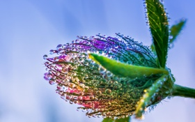 Обои цветок, капли, макро, роса, клевер