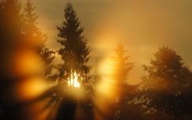 Обои свет, туман, утро, ели