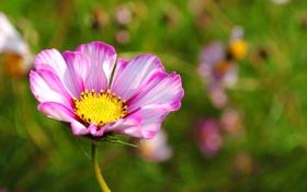 Картинка цветок, макро, природа, розовое