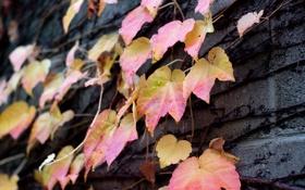 Картинка цвета, капли, стена, растение, после дождя, розовые, листики