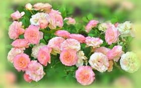 Картинка белые, розы, бутоны, розовые, куст, размытость, цветы