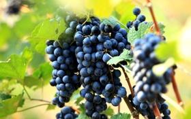 Обои листья, виноград, куст, природа, грозди, ягоды, красный