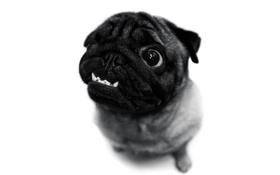 Картинка друг, мопс, собачка, милаха