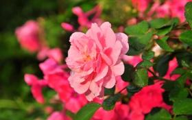 Картинка цветы, розовая, роза, красивая
