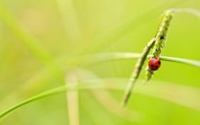 Обои nature, macro, insect, Ladybird
