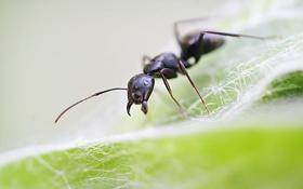 Картинка муравей, природа, лист, макро