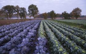 Обои поле, утро, капуста