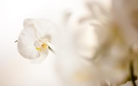 Картинка цветок, лепестки, белая, орхидея