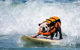Картинка доска, волна, собака