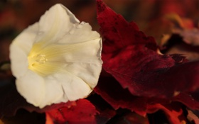 Обои осень, белый, цветок, листья, красные