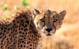 Картинка трава, глаза, взгляд, морда, гепард, саванна, африка