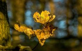 Обои листья, макро, жёлтый, ветка