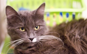 Картинка кошка, глаза, кот, усы, взгляд, желтые, серо-коричневый