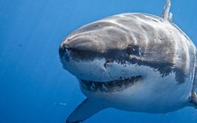 Картинка белая, акула, хищник, пасть, море
