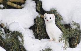 Картинка зима, снег, иголки, горностай
