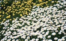 Обои поле, лето, цветы, ромашки, желтые, белые