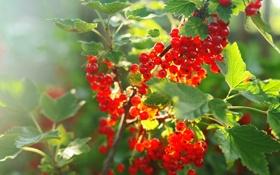 Обои листья, куст, сад, ягода, смородина