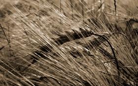 Обои урожай, пшеница, злак