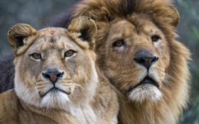 Обои взгляд, кошки, лев, пара, львы, львица, морды