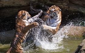 Обои вода, брызги, тигры, зоо