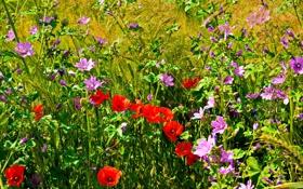 Обои трава, маки, луг, поле, лепестки, цветы
