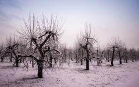 Картинка зима, сад, яблони