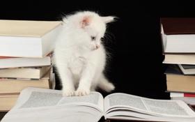 Обои задумчивость, книги, котёнок, страницы, голубоглазый