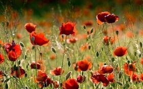 Картинка poppy, лето, маковое поле, field, маки, цветы