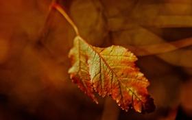 Обои осень, лист, клен