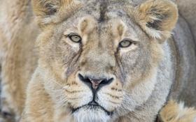 Обои кошка, взгляд, морда, львица, ©Tambako The Jaguar