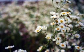 Картинка цветы, растение, ромашки