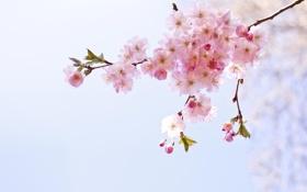 Картинка макро, цветы, ветка, весна, розовые, соцветие