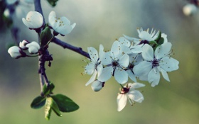Обои Cherry, White, Spring, Blossoms