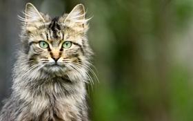 Картинка глаза, кот, серый, фон, пушистый