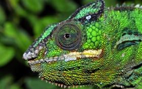 Обои глаз, хамелеон, цвет, голова, рептилия