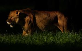 Обои темнота, хищник, львица