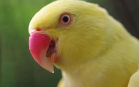 Обои жёлтый, птица, обои, клюв, Попугай