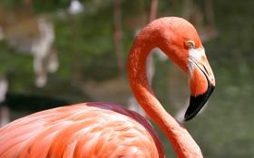 Обои вода, птица, фламинго