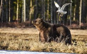 Картинка лес, животные, чайка, медведь, Bear