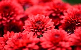 Обои макро, цветы, лепестки, красные, хризантемы