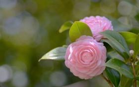 Обои цветок, розовая, лепестки, камелия