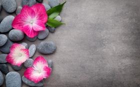 Обои цветы, камни, flower, orchid, stones, spa, zen