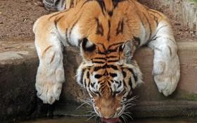 Обои тигр, жажда, водопой