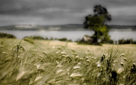 Картинка поле, лето, природа, колосья