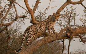 Обои хищник, леопард, грация, Африка, дикая кошка, на дереве