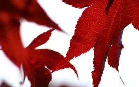 Картинка осень, белый, листья, макро, красный, фон, листва